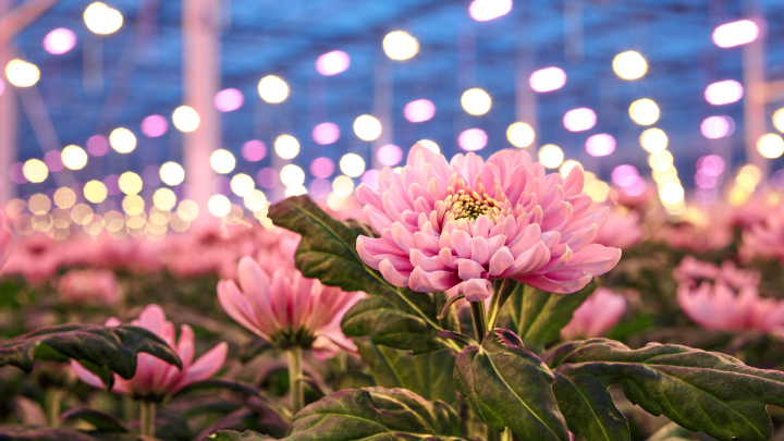 Commercial chrysanthemum grower Linflowers chooses Philips LED flower grow lights to improve crops