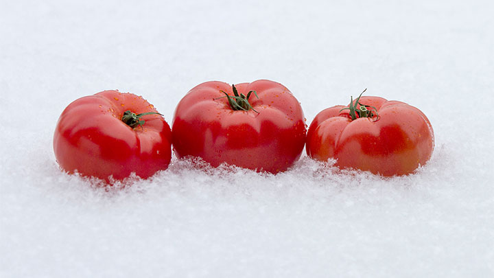 fresh, flavorful, and tasty winter tomatoes